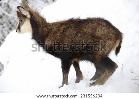 young chamois is standing in the snow
