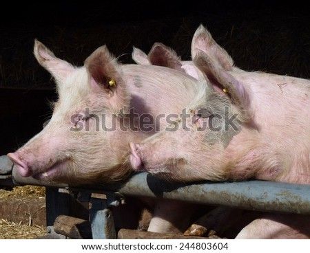 Young chattering pigs on the gate of their stable waiting for food