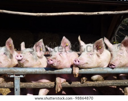 Young chattering pigs on the gate of their stable waiting for food - stock photo