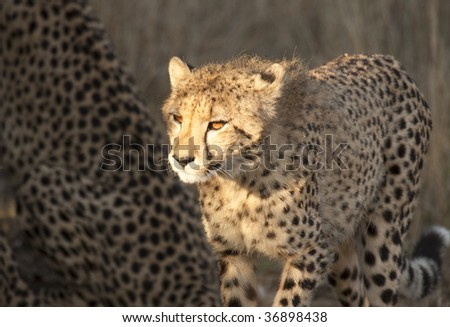 Young cheetah cub illuminated by sunlight shows glowing orange eyes. The cheetah (acinonyx jubatus) is a member of the cat family (felidae). It is the fastest land mammal.