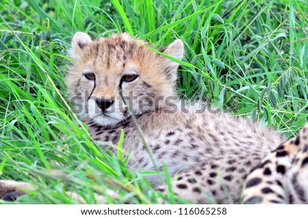 Young cheetah cub in long grass - stock photo