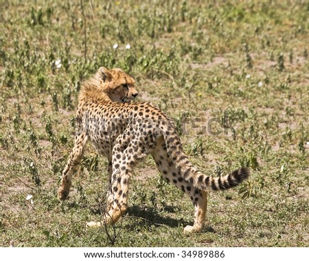 Young Cheetah in Serengeti National Park, Tanzania.