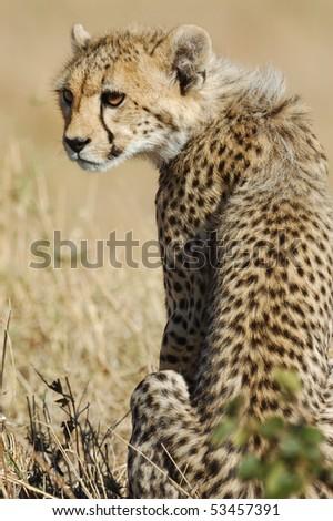 Young cheetah in the Masai Mara National Park, Kenya - stock photo