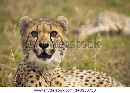 Young cheetah in warm evening light