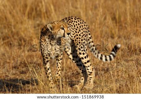 Young Cheetah male in Masai Mara, Kenya - stock photo