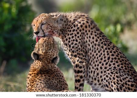 Young Cheetah of Sandriver licks his mother clean after eating in Masai Mara, Kenya - stock photo