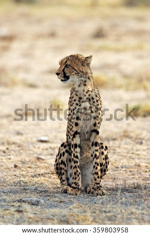 Young cheetah resting in the shade in Etosha National Park, Namibia. Shallow depth of field with room for text. - stock photo