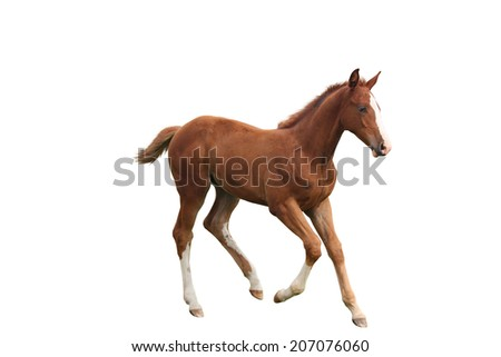 Young chestnut foal running free at the pasture - stock photo