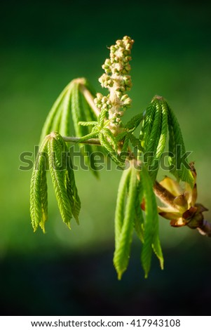 Young chestnut leafs unfolding from fresh bud, spring-time tree branch against sunlight - stock photo