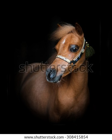 Young chestnut show mini horse foal over a black background