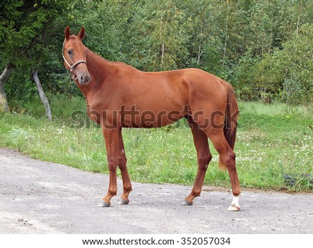 Young chestnut  stallion standing on forest background