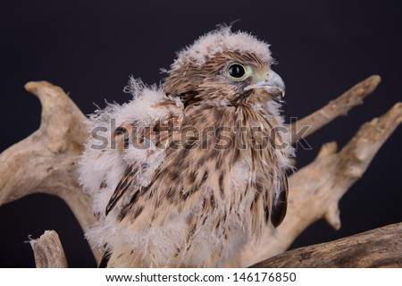 young chick hawk sitting on a wooden driftwood on a dark background