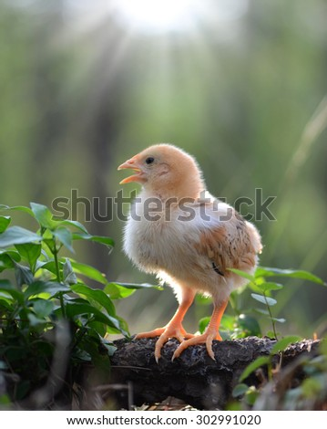 Young chicken - stock photo