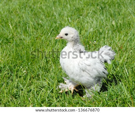 young chicken takes a stroll