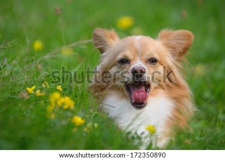 young chihuahua dog give a yawn - stock photo