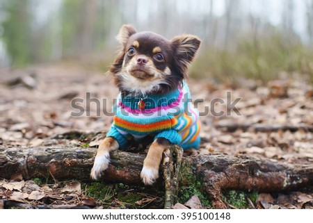 Young Chihuahua dog in a knitted sweater lying down on a tree roots at springtime - stock photo