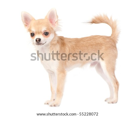young chihuahua dog isolated on white