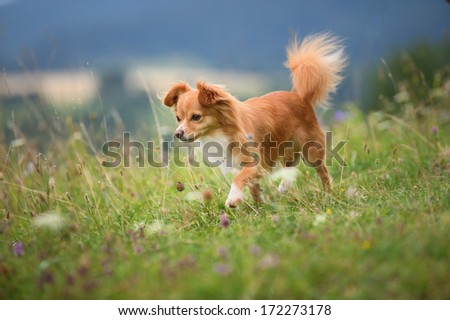 young chihuahua dog walks  - stock photo