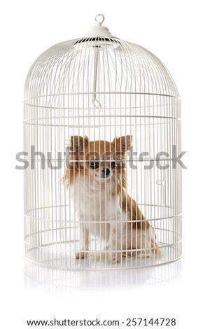 young chihuahua in cage in front of white background - stock photo