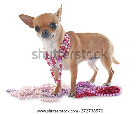 young chihuahua in front of white background - stock photo