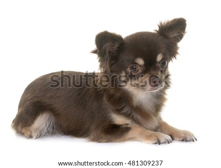 young chihuahua in front of white background