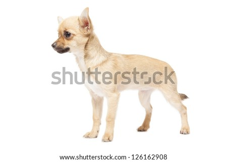 Young chihuahua isolated over white background