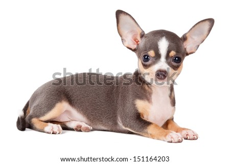 Young Chihuahua looking at the camera in a head shot, against a white background