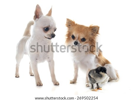 young chihuahuas and chick in front of white background