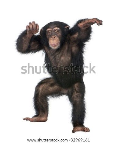 Young Chimpanzee dancing - Simia troglodytes (5 years old) in front of a white background - stock photo