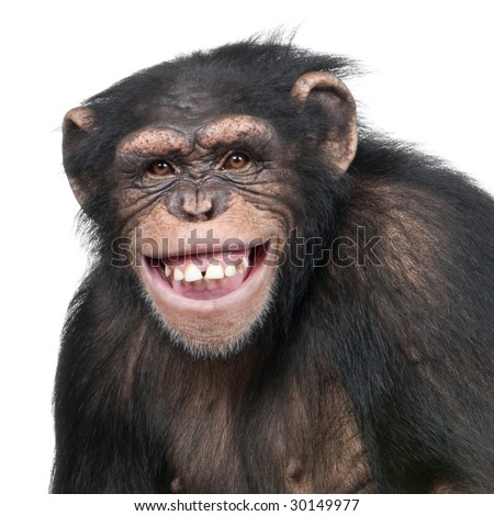 Young Chimpanzee - Simia troglodytes (6 years old) in front of a white background - stock photo