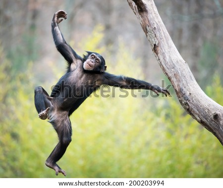 Young Chimpanzee Swinging and Jumping from a Tree - stock photo