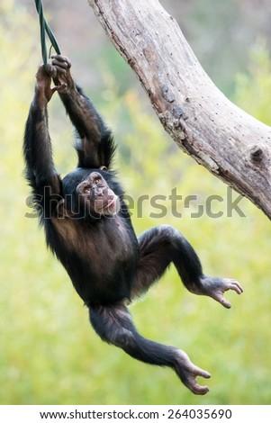 Young Chimpanzee Swinging in Tree - stock photo