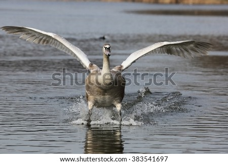 Young clumsy Mute Swan (Cygnus olor) is landing on water.