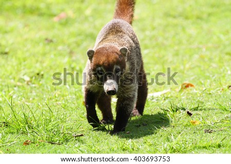Young Coati walking towards the camera in the forests of Panama