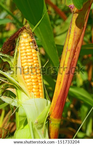 Young cob corn on the stalk.