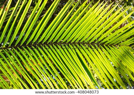 Young coconut tree