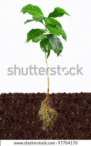 young coffee plant with exposed roots in soil - stock photo
