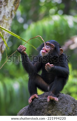 Young Common Chimpanzee sitting on a rock in the wild - stock photo
