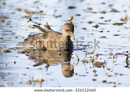 Young Common Moorhen