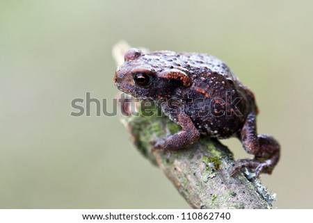 young common toad close up macro