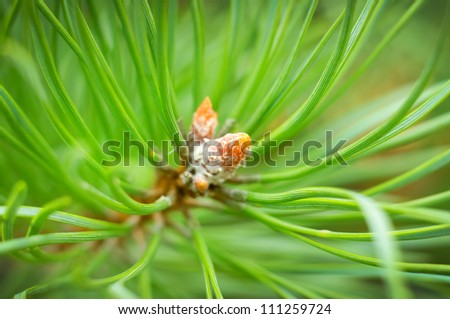 Young cones of spruce. Nature composition - stock photo