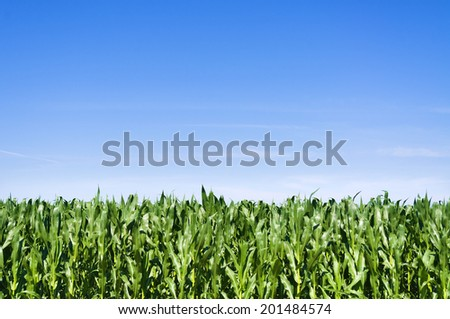 Young corn field at summer over clear blue sky - stock photo