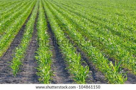 Young corn field on a spring morning very shallow depth of field - stock photo