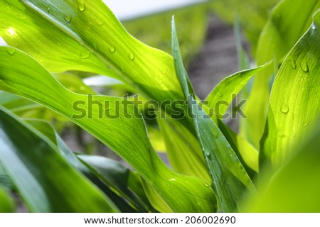 Young corn leaves closeup on a cornfield. - stock photo