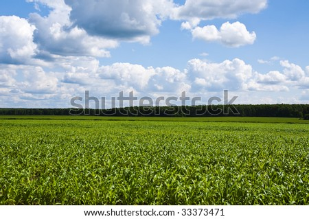 young corn on a background a clouds - stock photo
