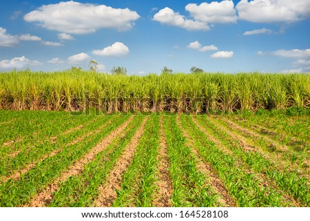 young corn plants and sugarcane plant background