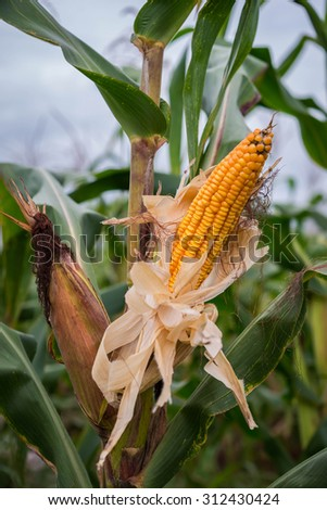 Young corn tree.Cornfield at thailand. - stock photo