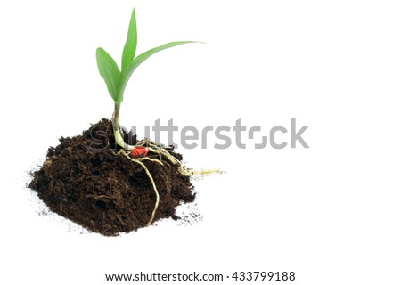 Young corn with eco fertilizer - isolated on white - stock photo