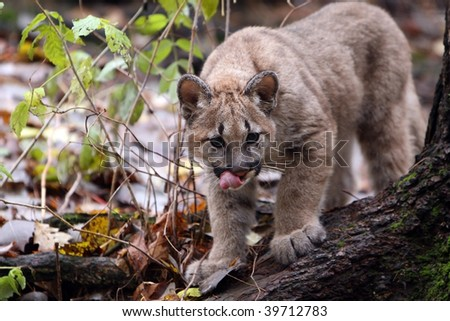 Young Cougar stalking his prey. - stock photo