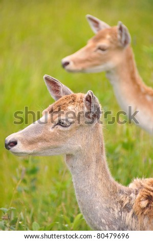 Young couple of deer. Deer are the ruminant mammals forming the family Cervidae. Species in the Cervidae family include White-tailed deer, Elk, Moose, Red Deer, Reindeer, Roe and Chital. - stock photo